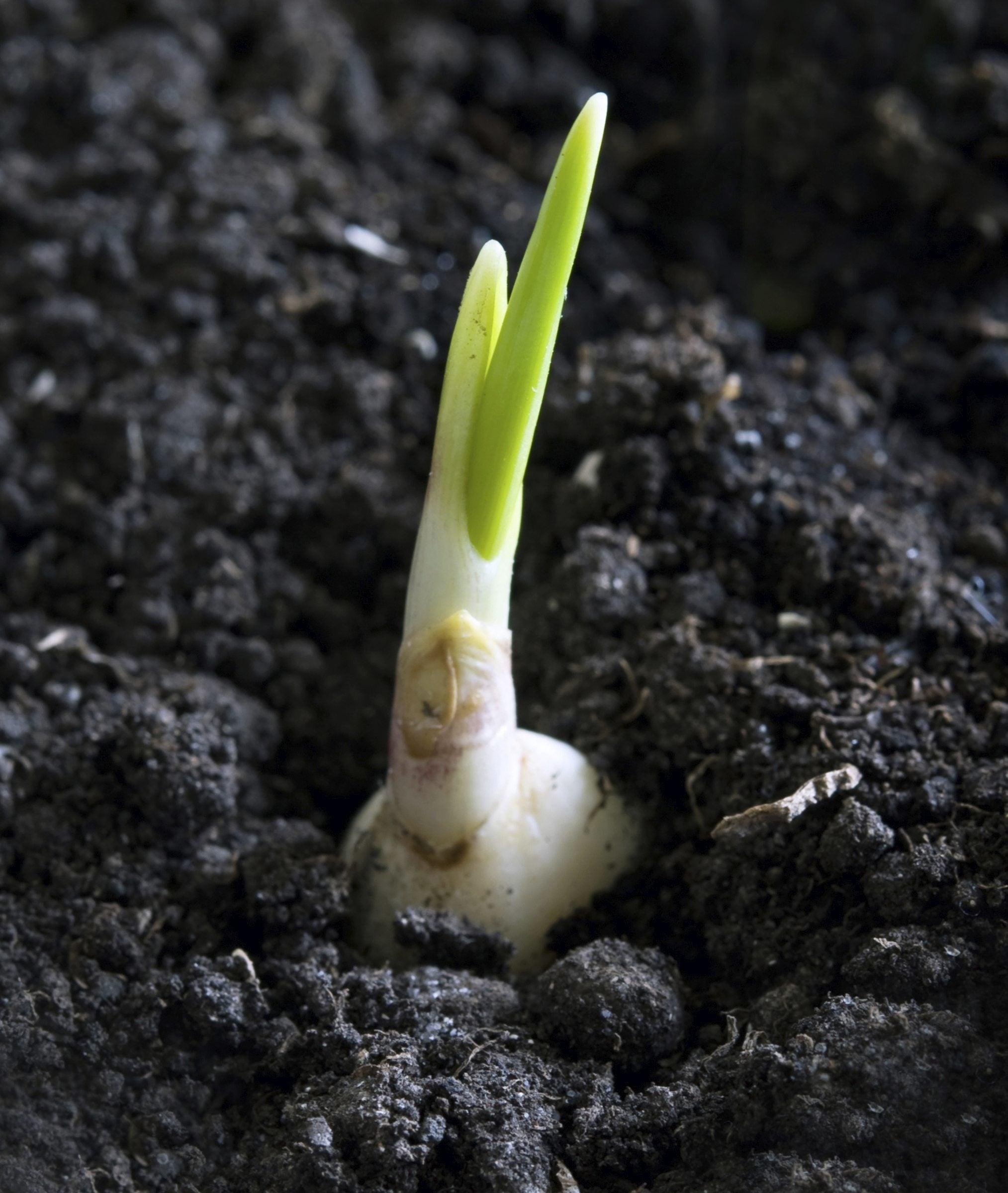 Garlic Propagation