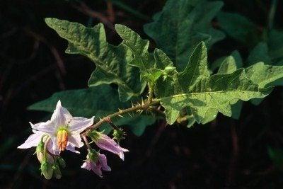 horsenettle weed
