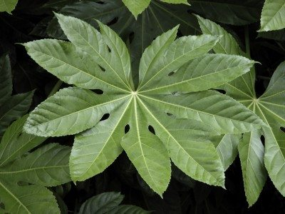 Types Of Aralia – Learn About The Care Of Aralias