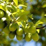 loaded-plum-branch