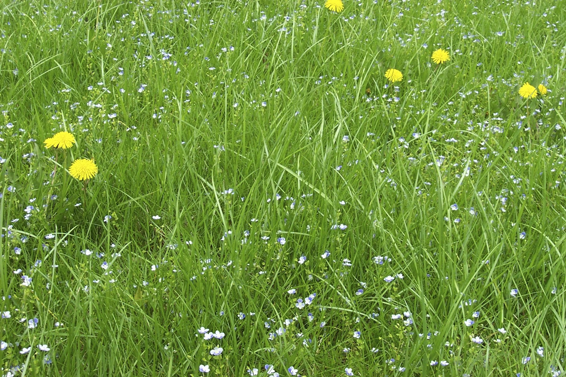 Meadow grass maintenance tips for annual meadow grass control for Ornamental lawn grass