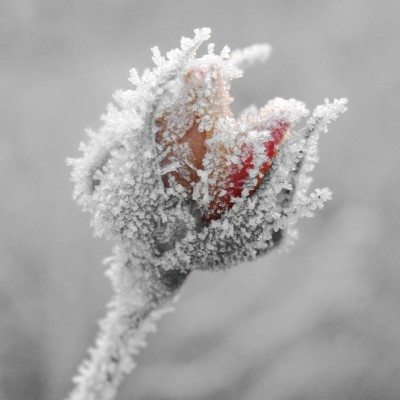rose winter damage