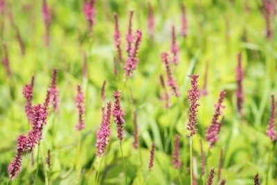 Red flowering Polygonum plants