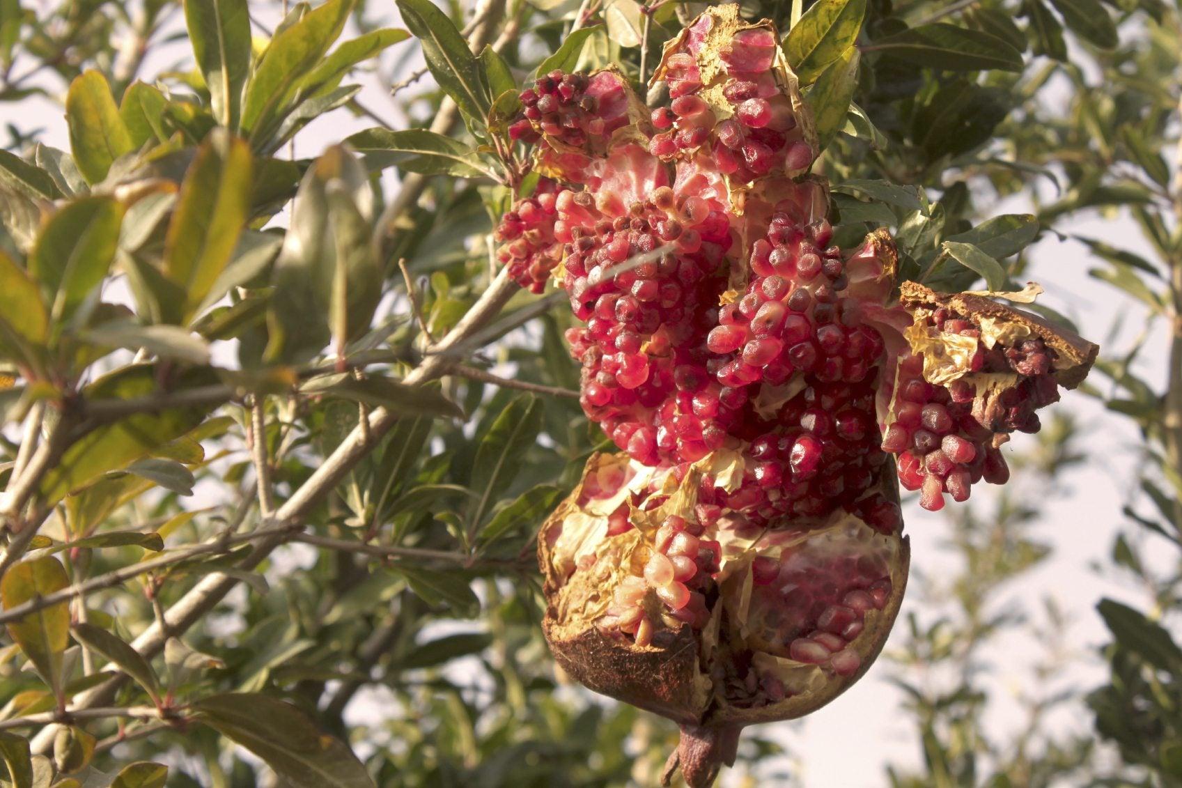 My Pomegranates Are Cracking – Why Does Pomegranate Split ...