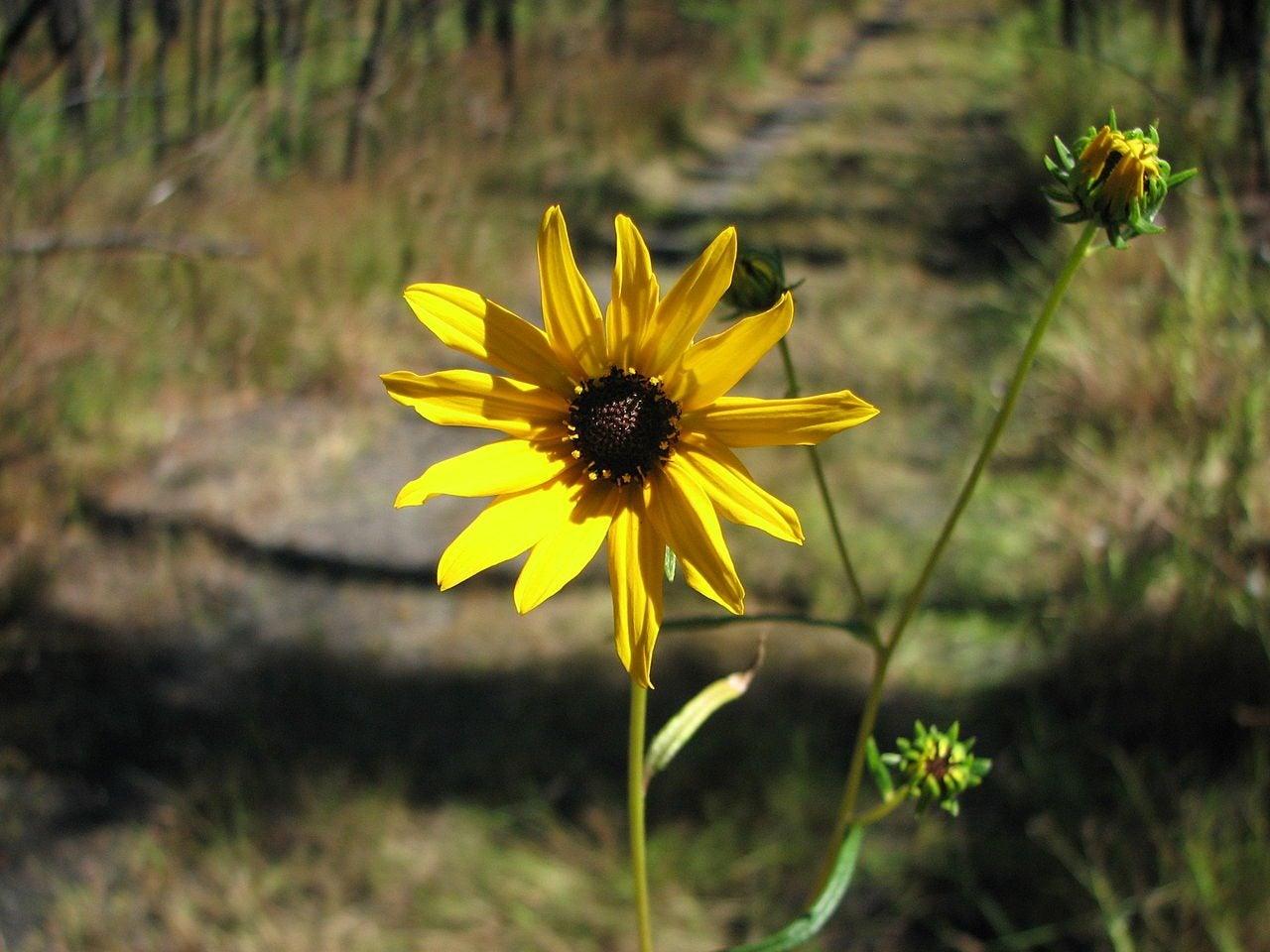 Swamp Sunflower Info Tips For Planting Swamp Sunflowers In The Garden