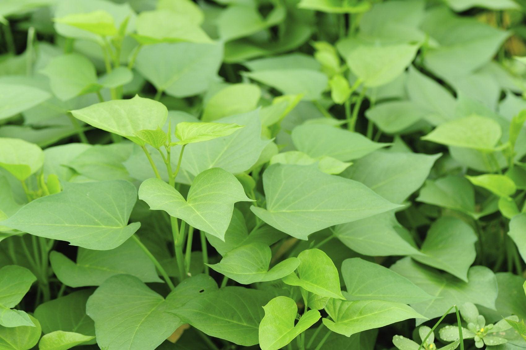 Sweet Potato Greens Information About Eating Potato Vine Leaves