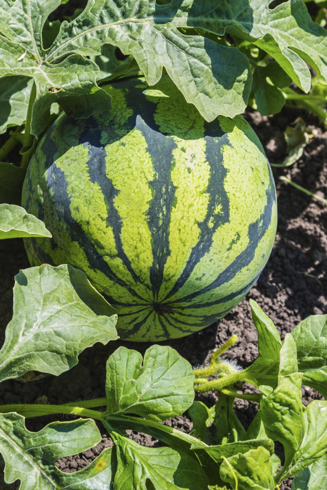 Watermelon Fertilizer Schedule Tips For Watermelon Feeding In The Garden