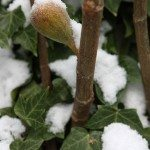 winter-hardy-fig