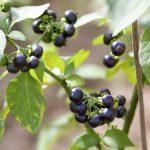 Wonderberry or Sunberry (Solanum retroflexum or Solanum burbankii)
