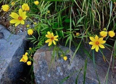 bidens plant
