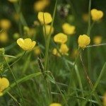 buttercup weeds