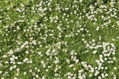 Chamomile Lawn Plants Tips For Growing Lawns