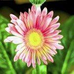 Pink china aster closeup