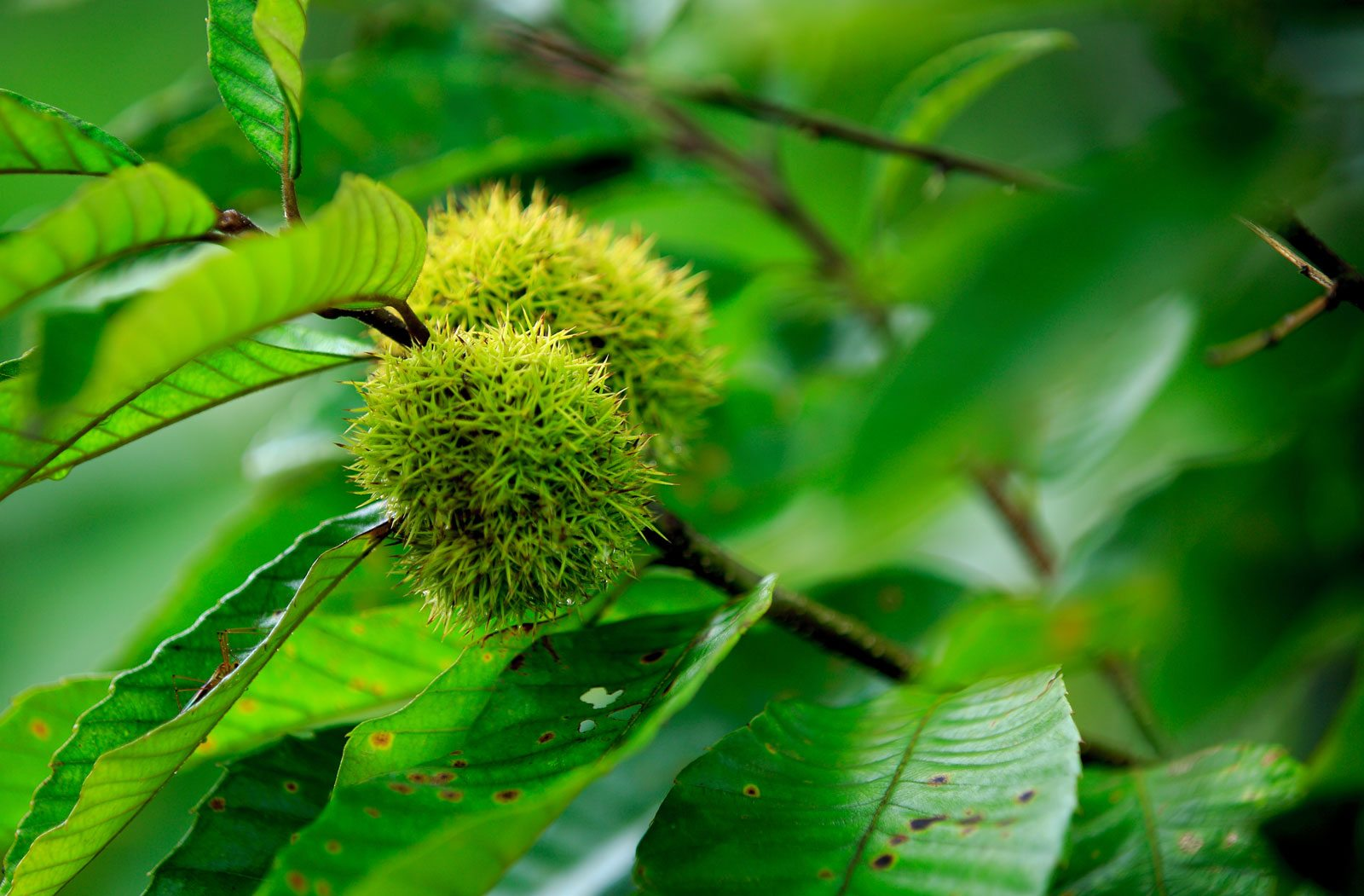 Growing Chinese Chestnuts – Learn About Chinese Chestnut ...