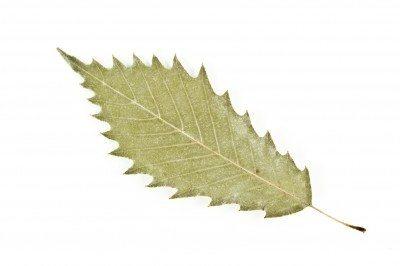 Chinquapin Oak - Quercus muehlenbergii