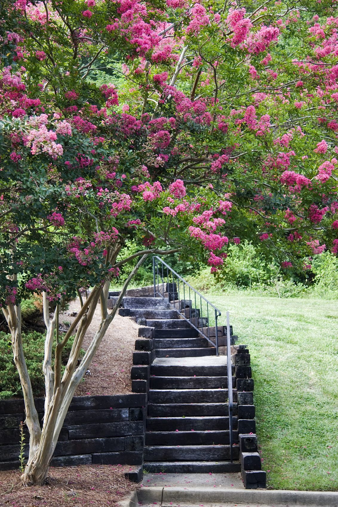 Crepe Myrtle Tree Roots Learn About The Invasiveness Of