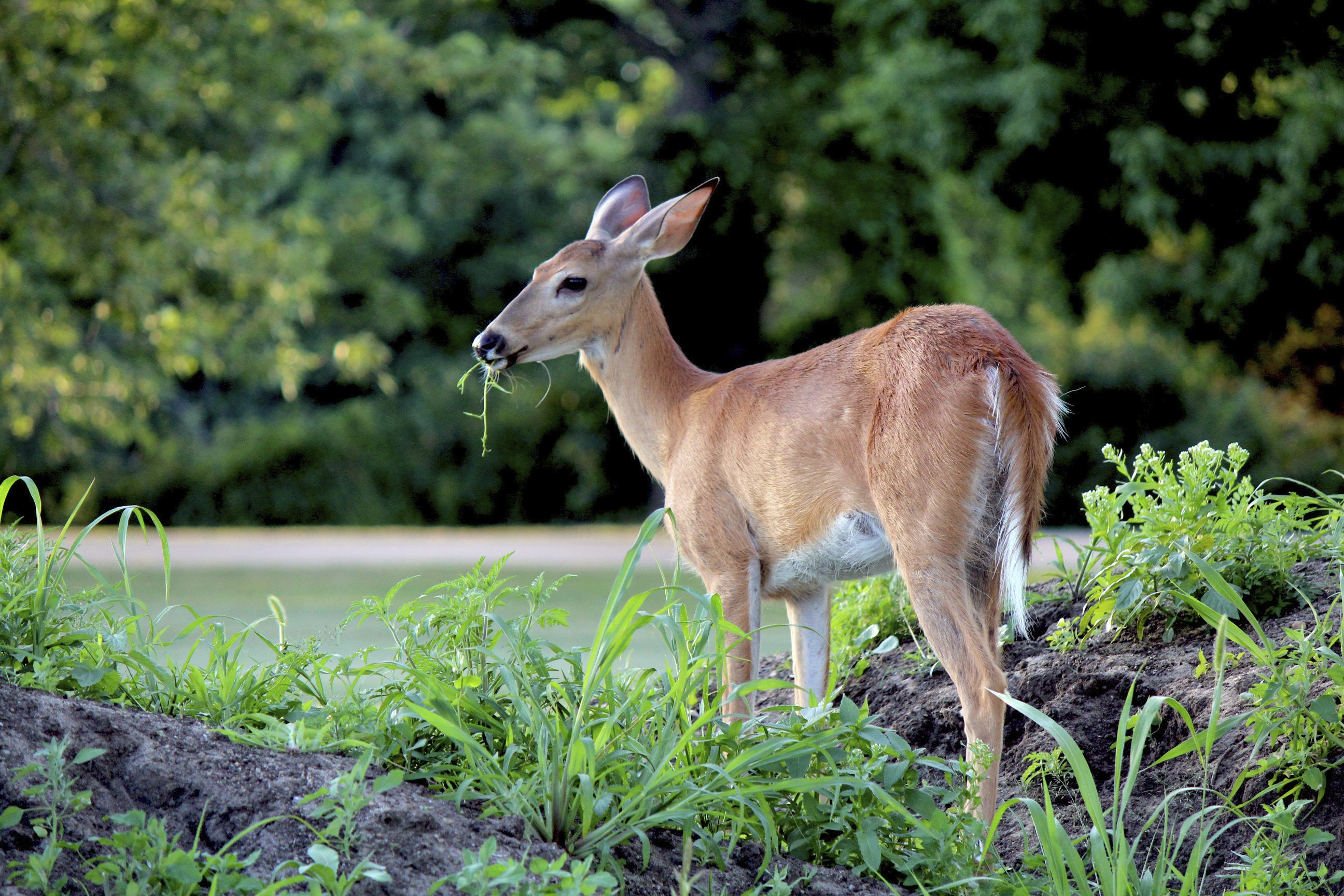 Deer Proofing Roses How To Prevent Deer Damage To Rose Bushes