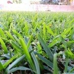 drought-grass
