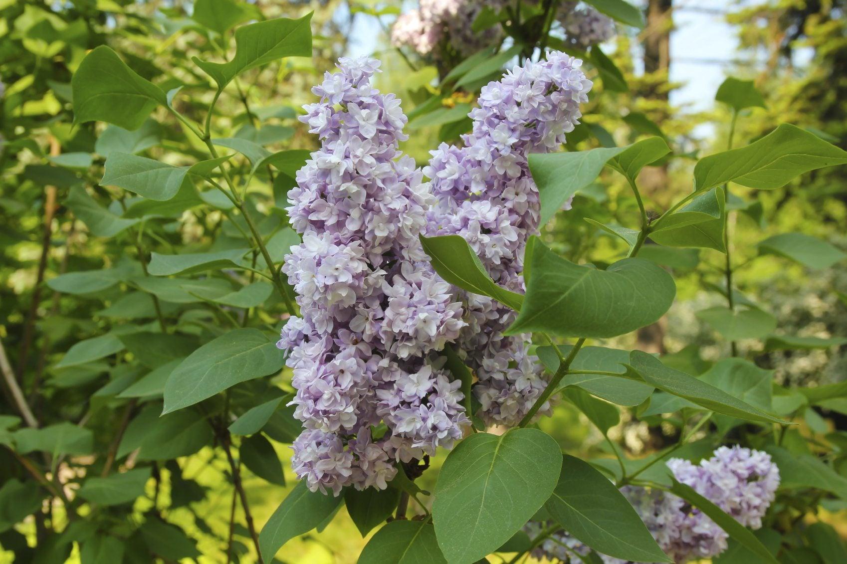 Best Drought Tolerant Shrubs – Drought Tolerant Flowering Shrubs And Evergreens
