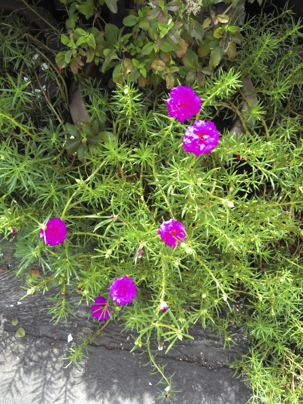 Drought tolerant annuals for shade or sun how to grow drought drought tolerant annuals for shade or sun how to grow drought tolerant annuals izmirmasajfo