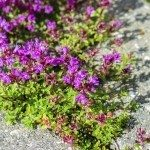 Plants of Creeping Thyme with purple flowers in garden in summer.