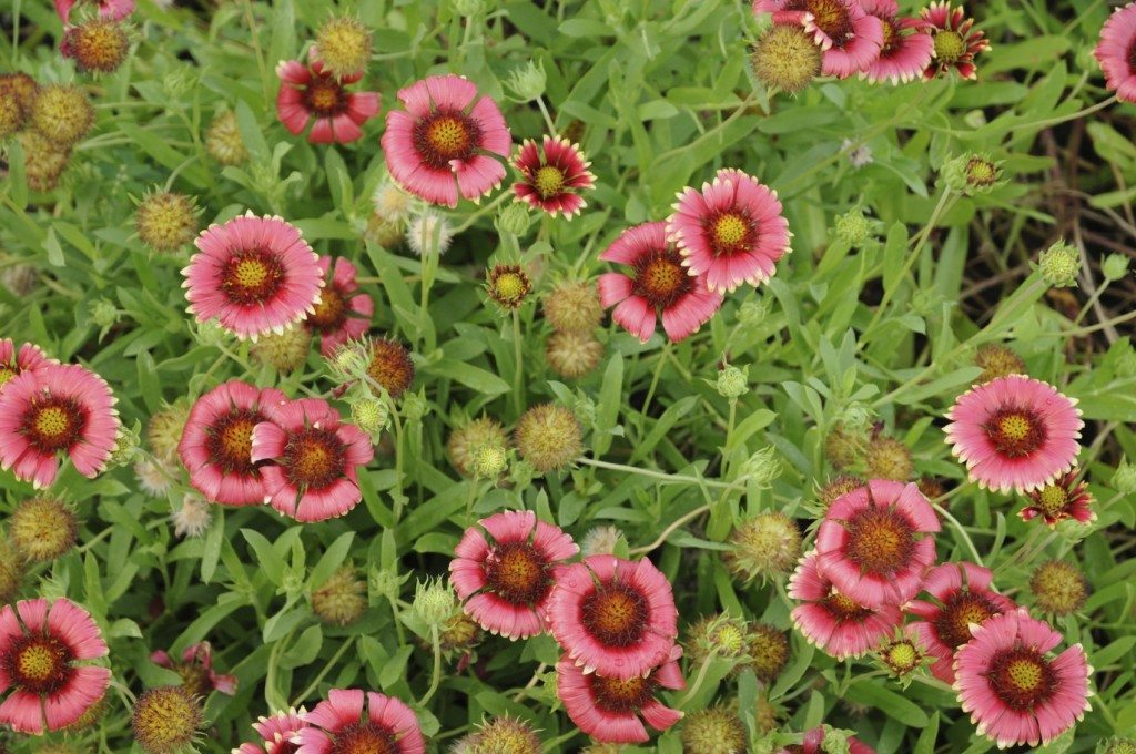 Heat and drought tolerant perennials what are some for Low maintenance full sun perennials