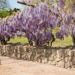 drought-vine