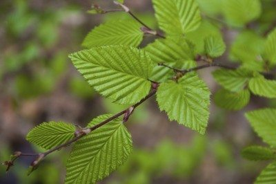 Leaves of the ironwood