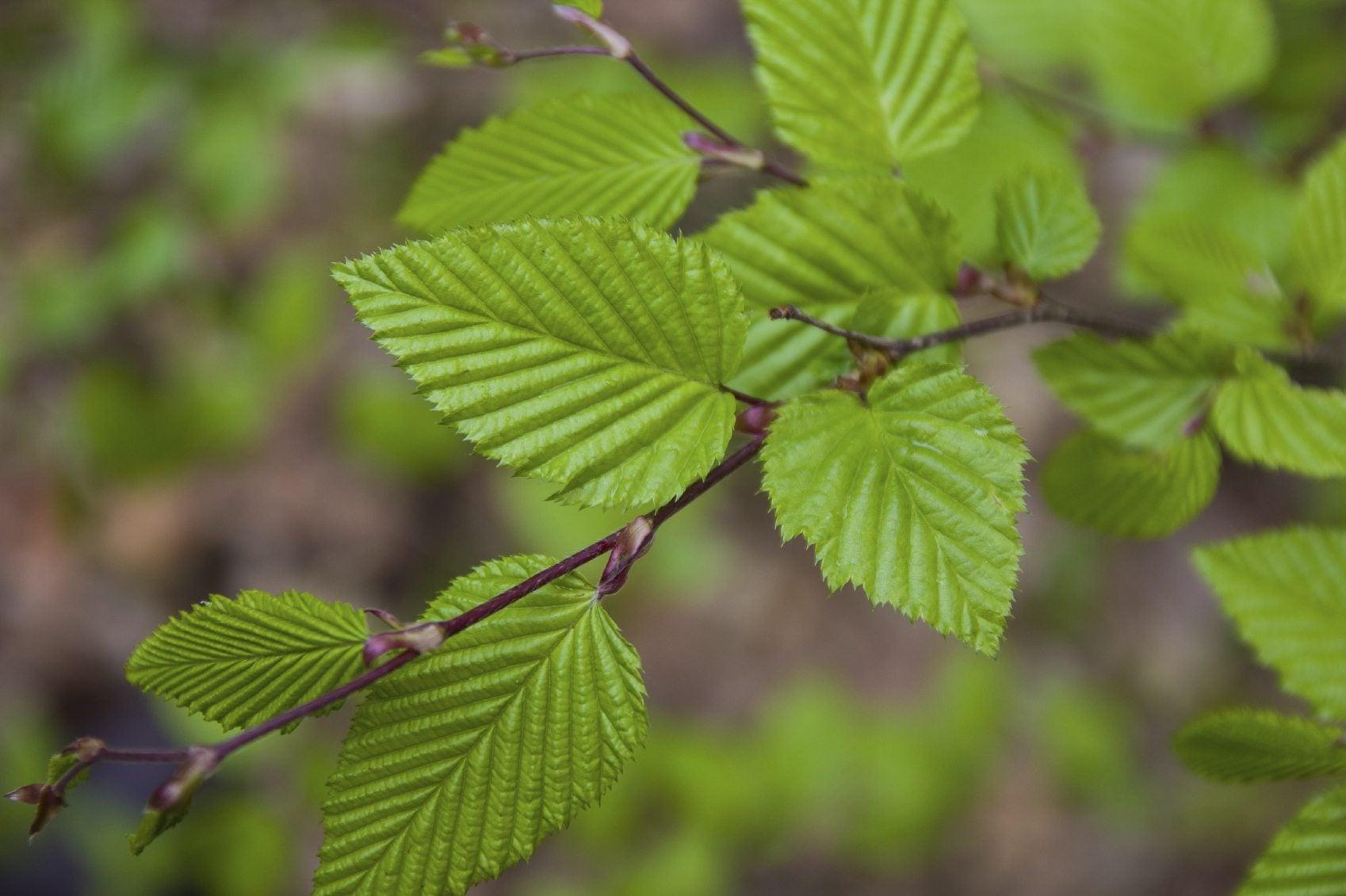 Hornbeam Tree Info Information On Hornbeam Growing