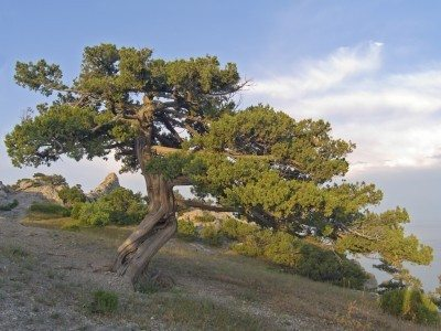 Growing Juniper Trees How To Plant
