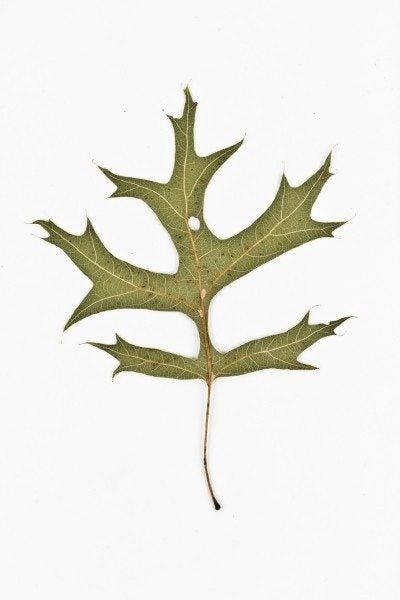 Pin Oak back - Quercus palustris