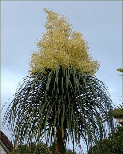ponytail palm flower