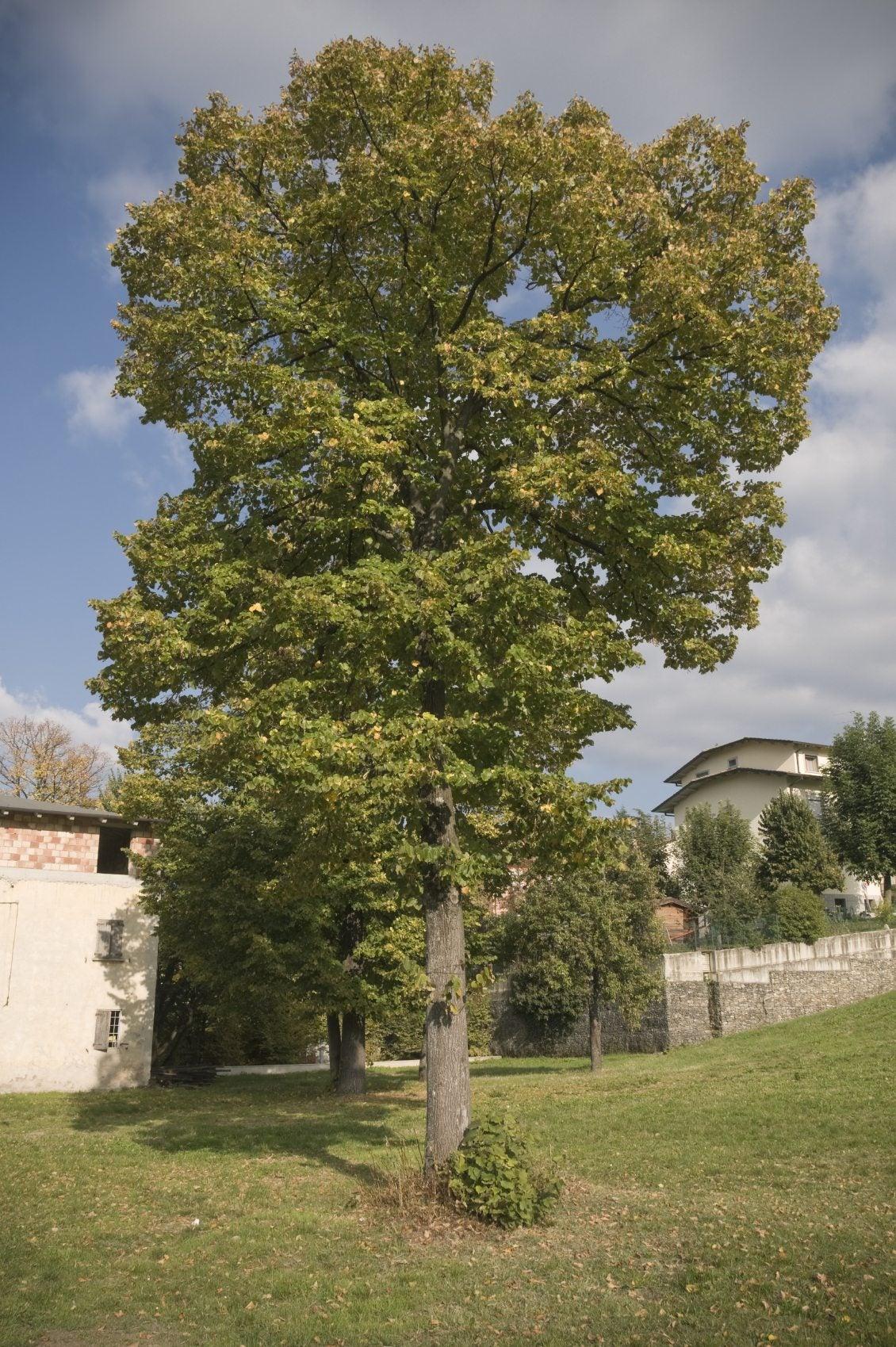 Hybrid Poplar Tree Are Poplar Trees Good ...