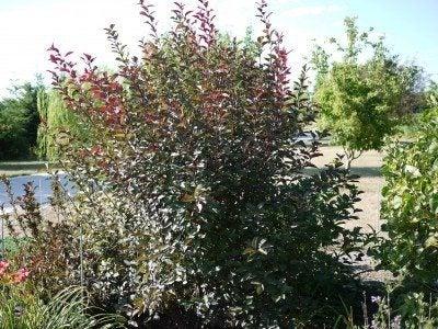 sandcherry shrub
