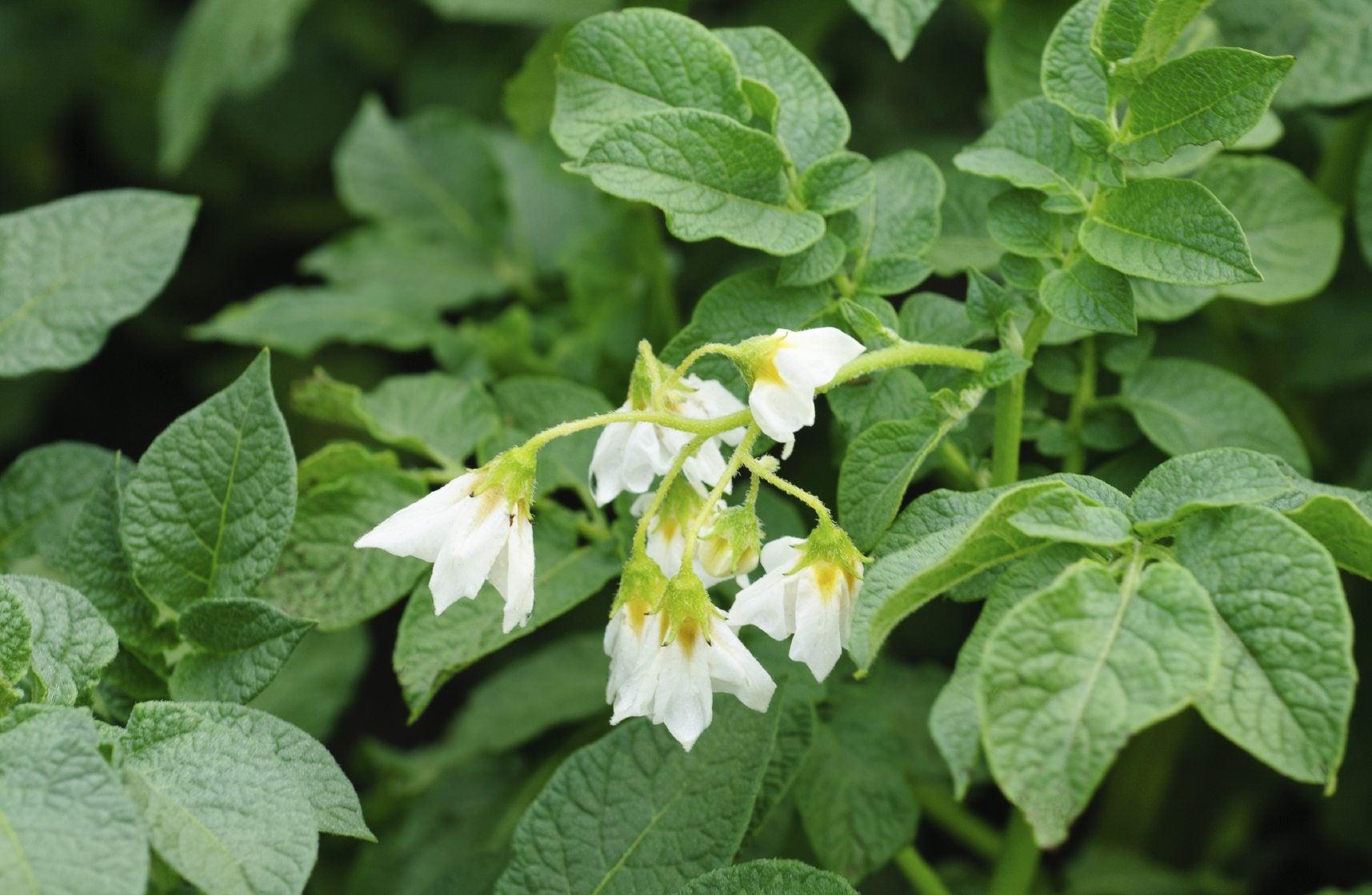 Solanum information types of solanum plants in the garden for Garden plant information