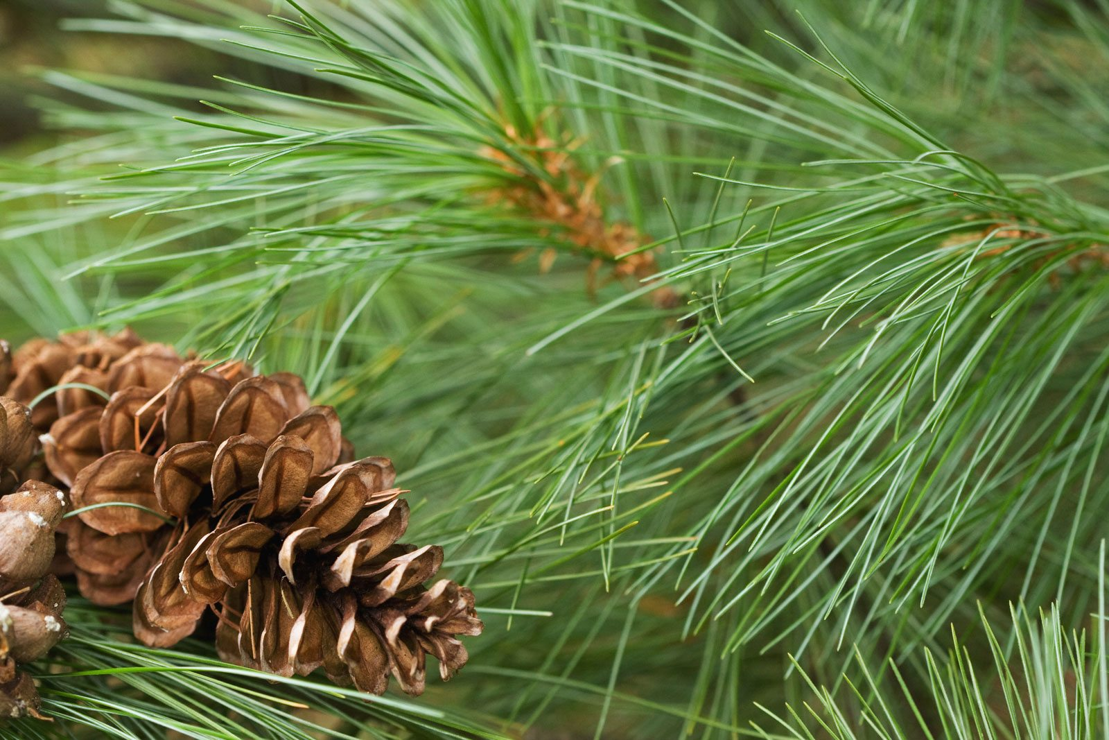 Tips For Planting White Pines: Care Of White Pine Trees In ...