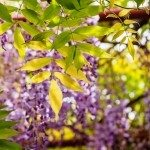 wisteria-yellow