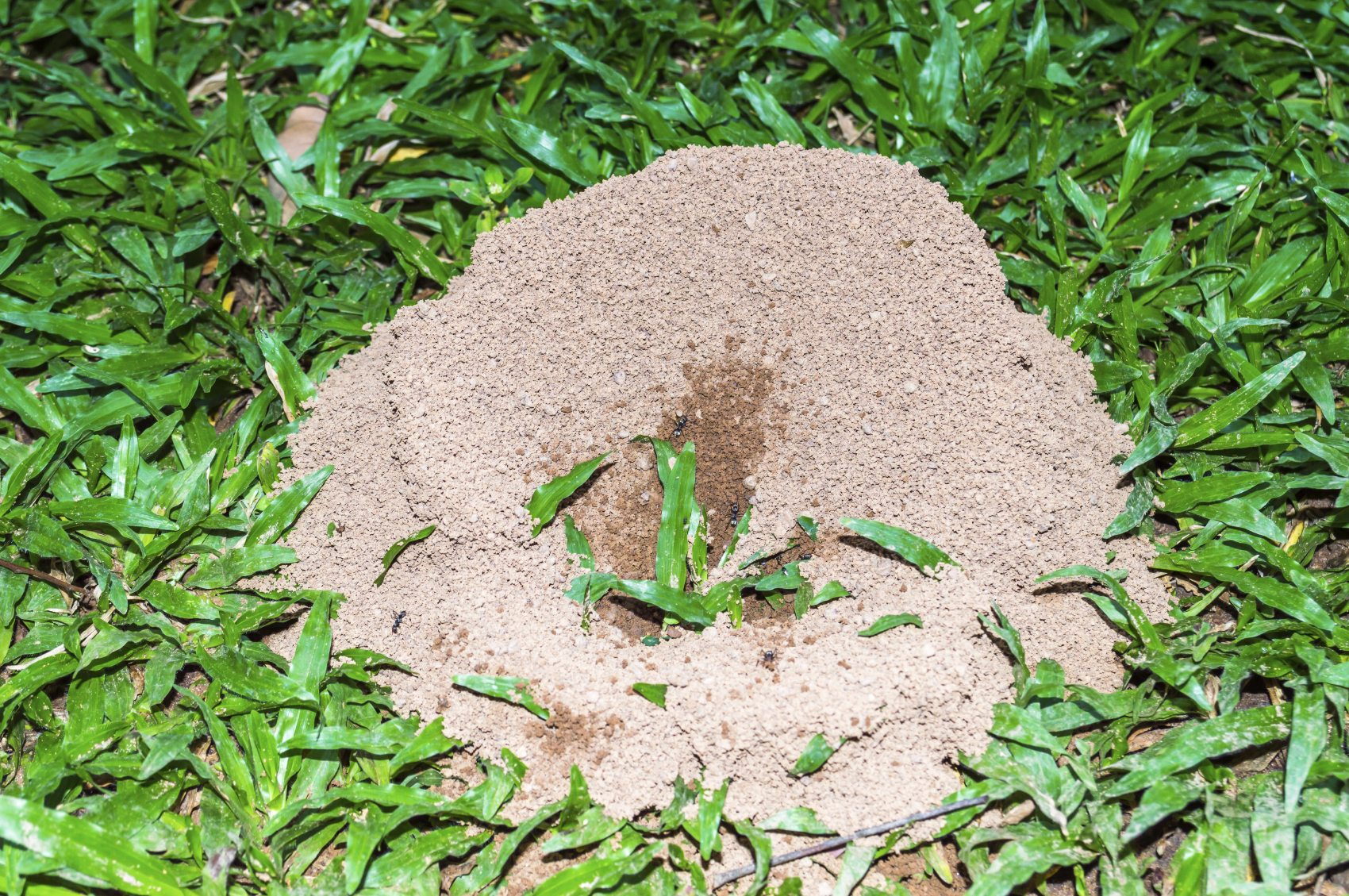 Controlling Ants In The Lawn Tips For Killing Ants In Your Lawn