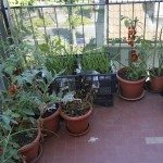 plants and red tomatoes grown on the balcony in an urban garden terrace