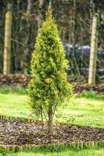 Best Lawn Fertilizer >> Fertilizer For Arborvitae: How And When To Feed Arborvitae