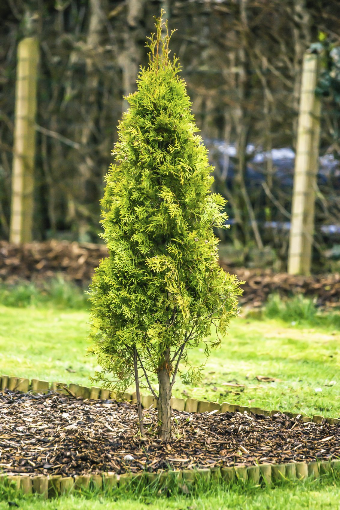 Fertilizer For Arborvitae: How And When To Feed Arborvitae ...