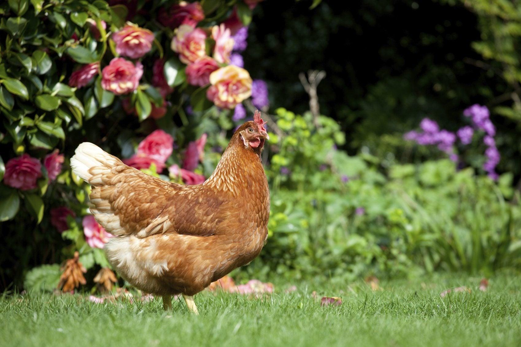 triyae com u003d backyard chickens for beginners various design