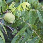 Fruit and leaves on a Black Walnut Tree