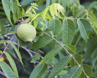 Planting Black Walnut Trees Learn About Tree Growing