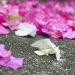 bougainvillea flower drop