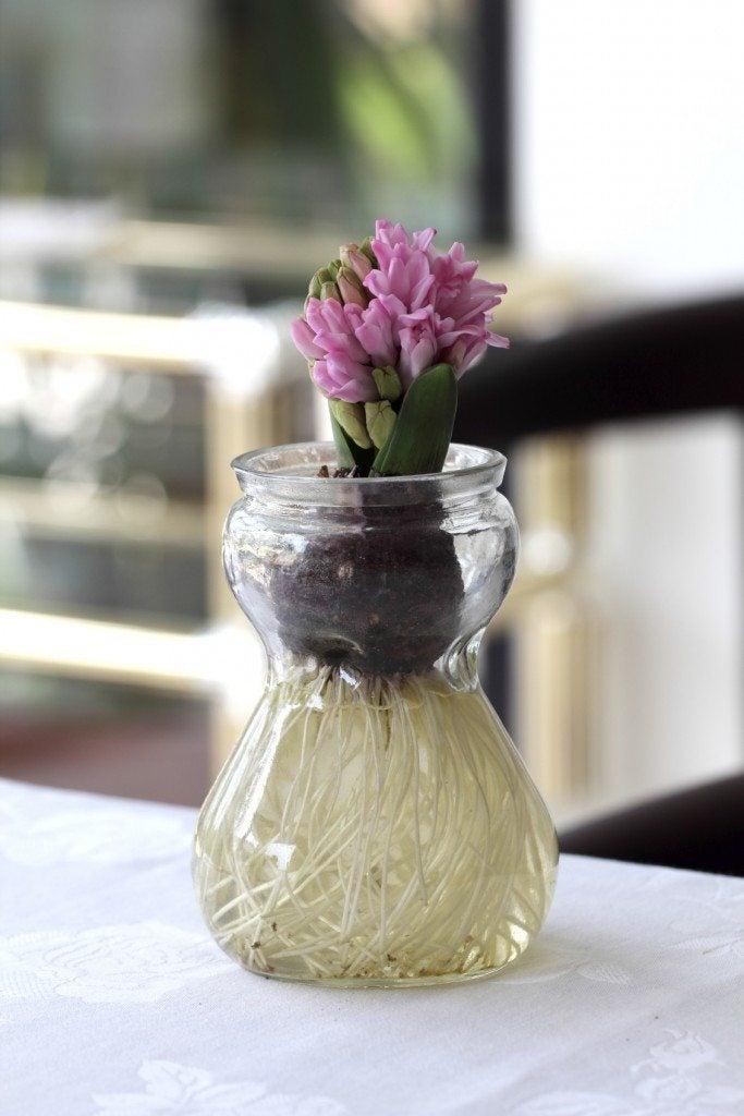 Bulb Forcing Jars Information On Using Bulb Glasses For Flowers