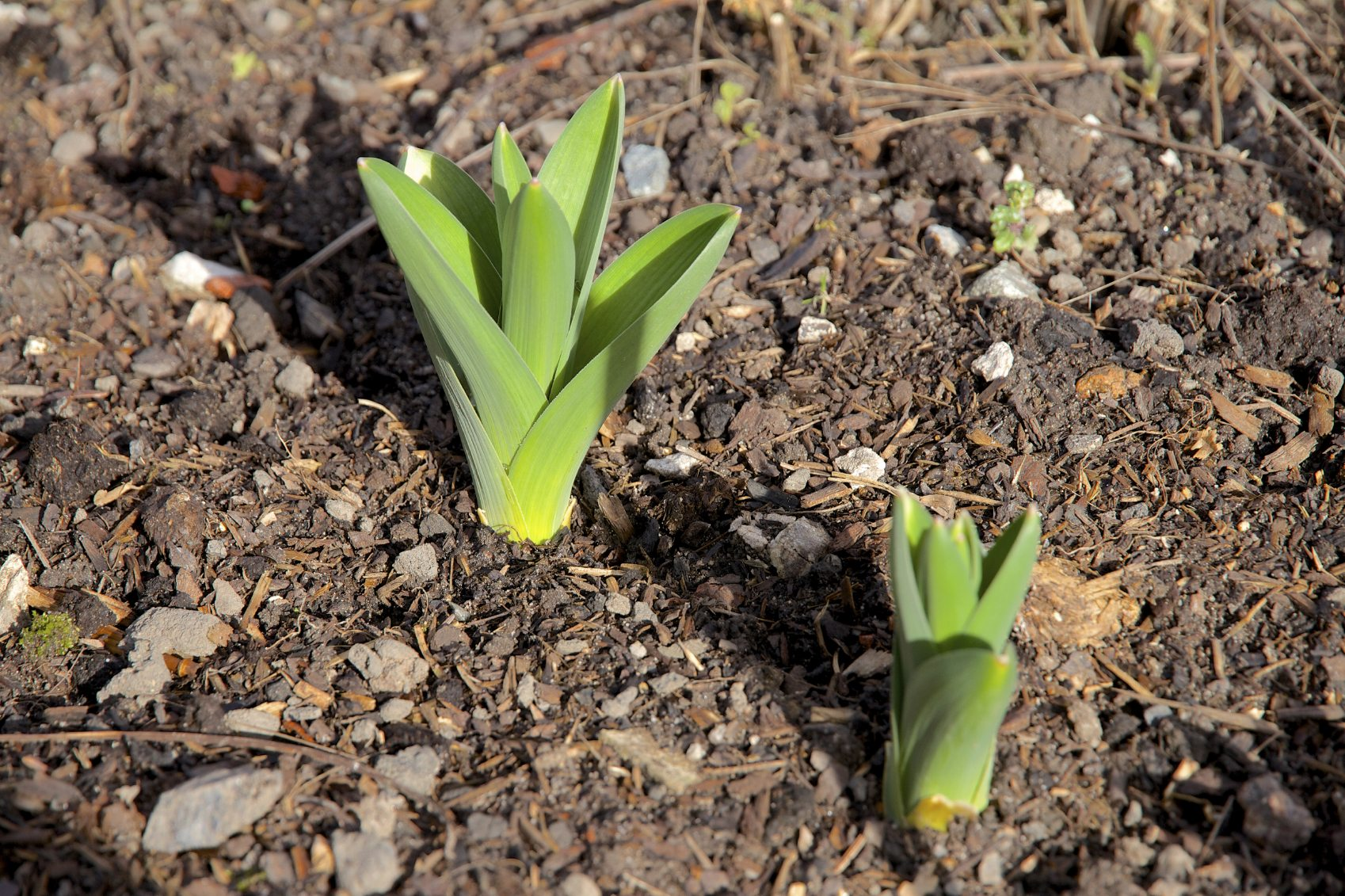 Info On Spring Bulb Flowers How Long Does It Take For Bulbs To Sprout