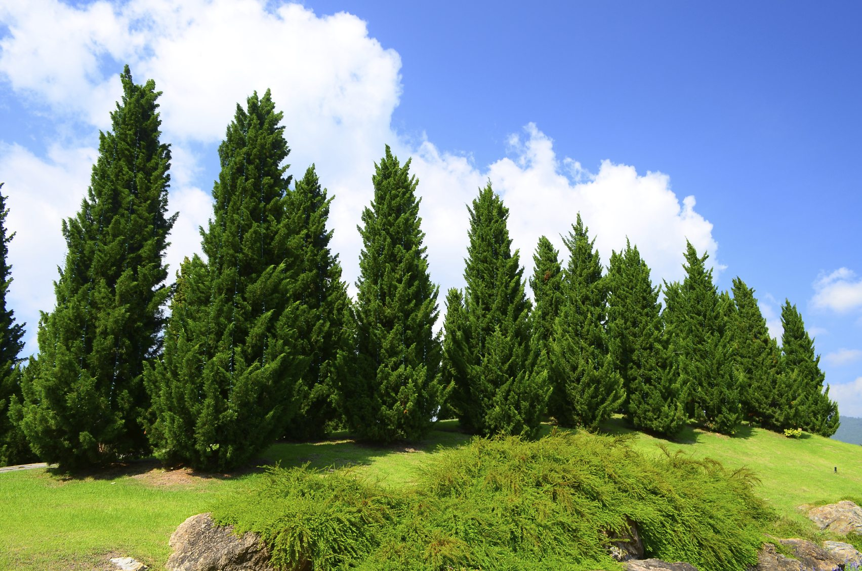 Pictures Of A Pine Cedar Tree 93