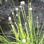 chive weed