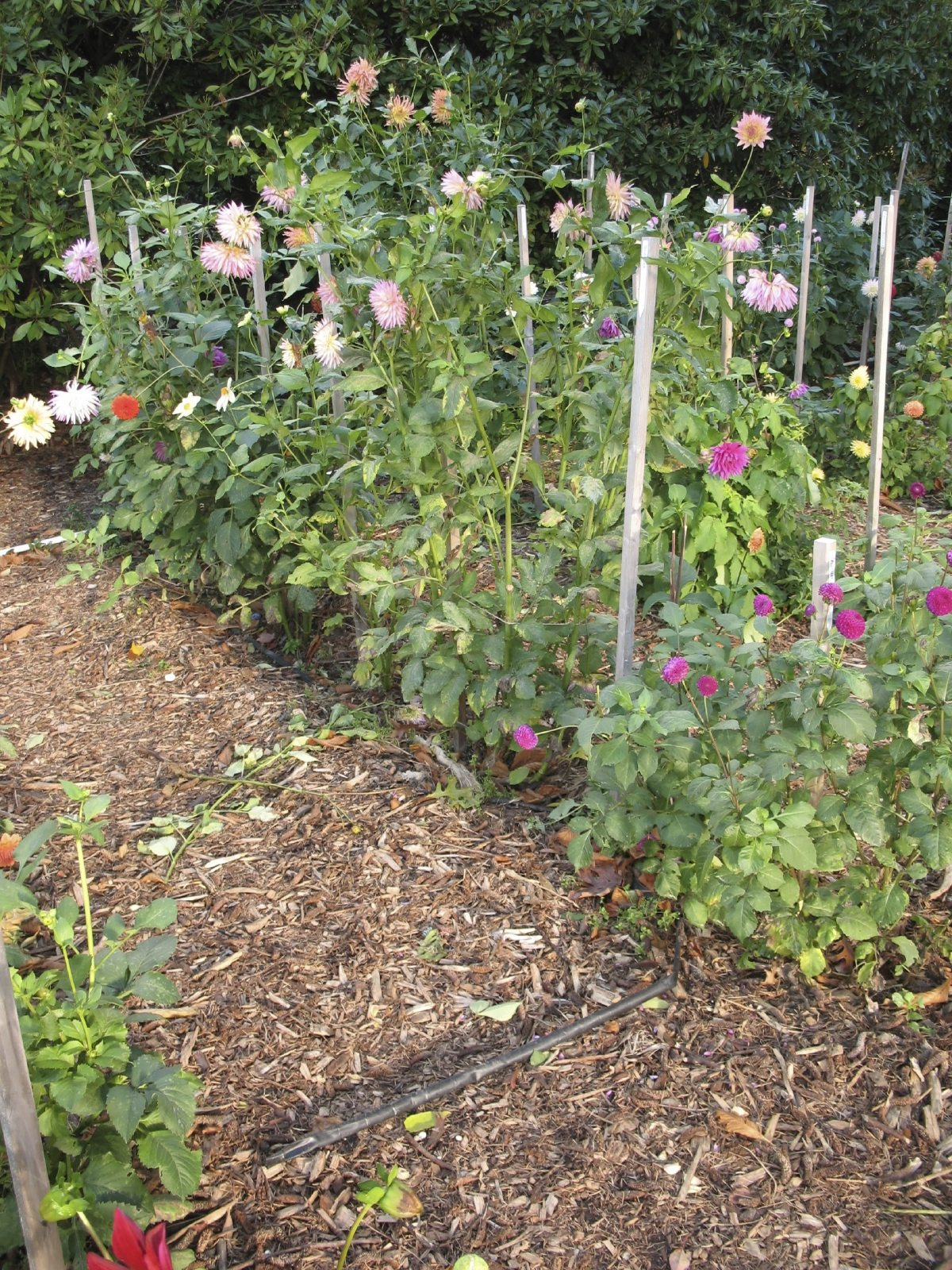 Dahlia support ideas what are the best ways to stake dahlias for How to maintain garden plants